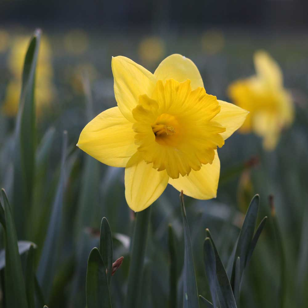 spring easter daffodil